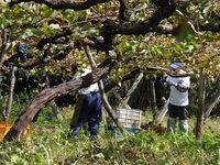 棚つくりのベリーA古木 作業しにくい樹の高さ.JPG
