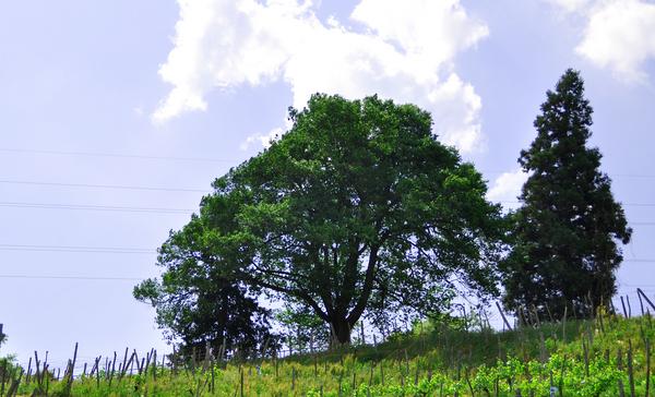 桜の木 02.jpg