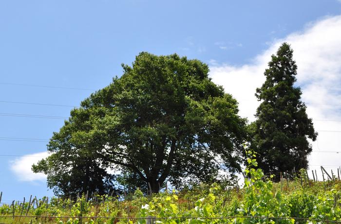 桜の木 21.7.jpg